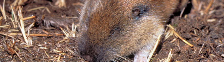A  Mazama Pocket Gopher