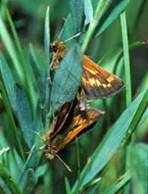 Mardon Skipper