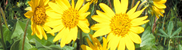 Three large, bright, yellow flowers